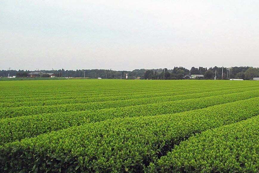 Champs de thé - Ozumi