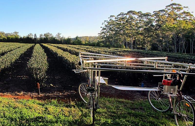 Champs de thé, Australie