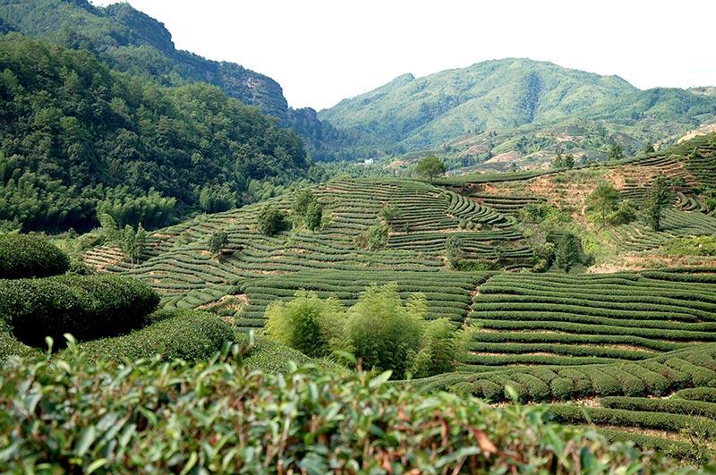 Champs de thé, Fujian, Chine
