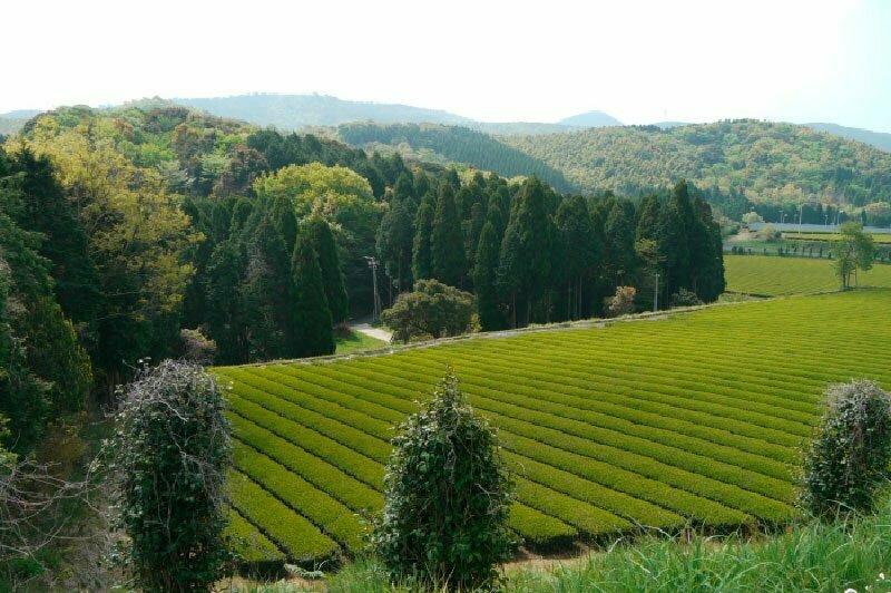 Champs de thé matcha - Kagoshima